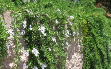 rosmarinus prostratus