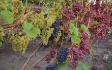 Как укрыть на зиму виноград?