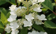 Hydrangea paniculata Matilde