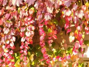Пурпурный девичий виноград