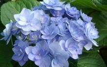 Romance Blue Hydrangea Macrophylla