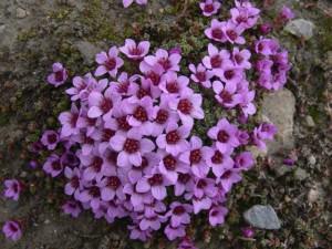 Камнеломка розовая