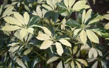 schefflera arboricola variegated