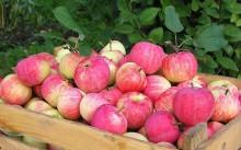 Яблоки сорта Штрифель
