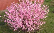 Куст миндаля цветущий