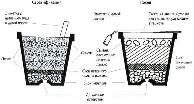 Выращивание бонсай из семян
