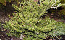 abies-koreana-brevifolia