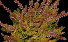 calluna vulgaris boskoop