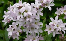 campanula-lactiflora-london-anna