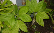 chamaedorea ernesti augusta