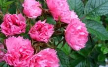 rose pink grootendorst
