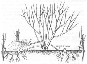 Размножение айвы отводками