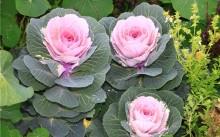 Розовая цапля