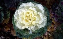 Decorative cabbage Nagoya