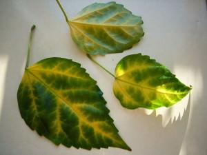 Пожелтевшие листья гибискуса