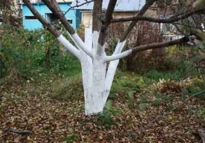 Известкование ствола яблони