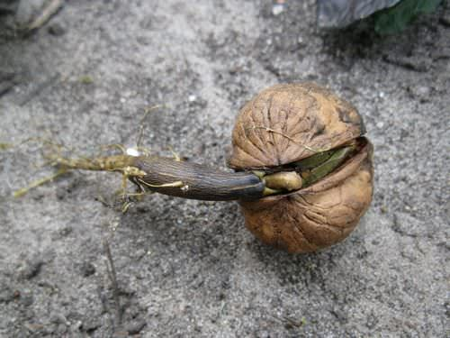 Проросший грецкий орех