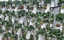 Клубника в трубах ПВХ: как сделать грядки самим и как выращивать, подходящие сорта с фото