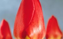 Tulip Darwin hybride Oxford