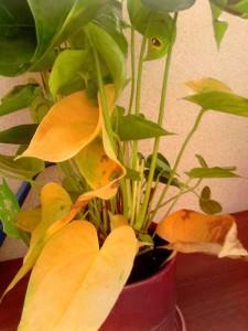 Пожелтение листьев антуриума