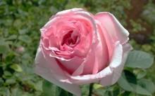 Роза Офелия