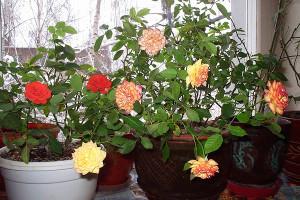 Розы в горшке