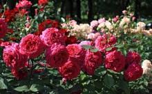 Розы: сорта с фото, посадка и уход, болезни и вредители