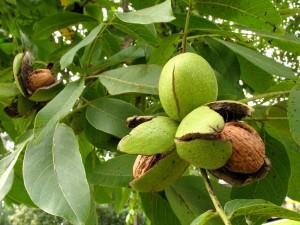 Созревшие орехи
