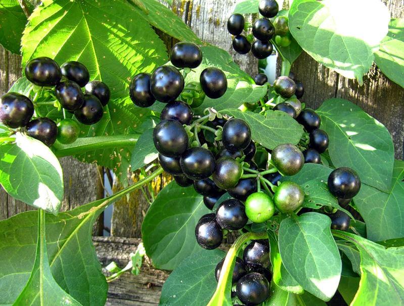 Черника форте (санбери) выращивание, в том числе из семян, а также особенности посадки и ухода