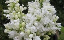 syringa vulgaris madame lemoine