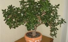 Денежное дерево (толстянка): уход и посадка, обрезка и размножение, вредители
