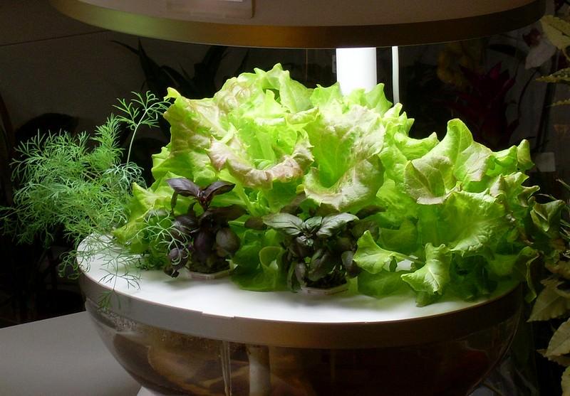 Зелень в гидропонной системе