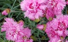 dianthus plumarius maggie