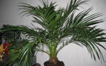 Пальмы в домашних условиях: уход и пересадка, размножение и вредители