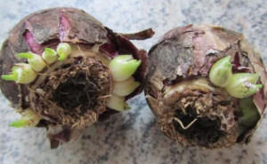Луковицы гиацинта с детками