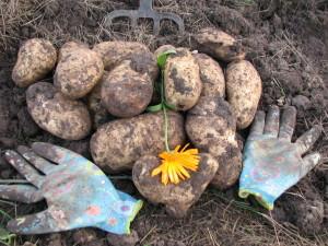 Сорт картофеля Голубизна