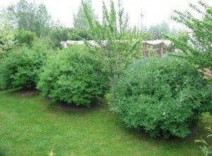 Кусты жимолости в саду