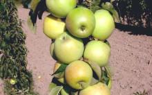 Малюха яблоня колоновидная