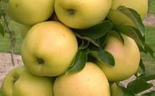 Медок яблоня колоновидная