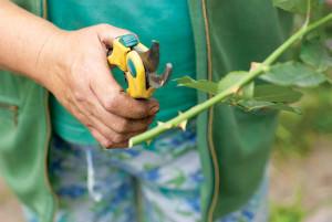 Срезание черенка розы с куста