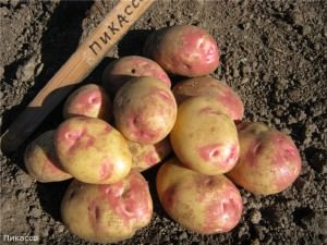 Сорт картофеля Пикассо