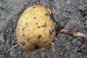 Проволочник в картофеле