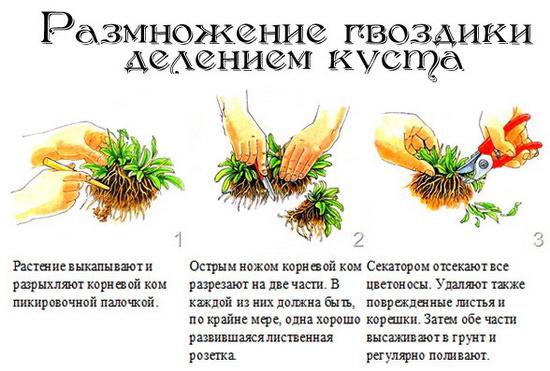 Размножение гвоздики делением куста