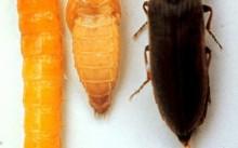 Проволочник, куколка и жук-щелкун