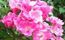 Betty Prior Сорт полиантовой розы