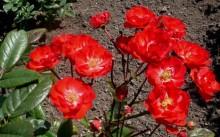border king Сорт полиантовой розы