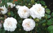 Little White Pet Сорт полиантовой розы