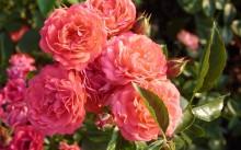 Orange Triumph Сорт полиантовой розы