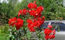 Paul Crampel Сорт полиантовой розы