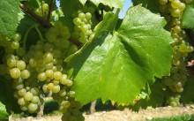 Как и чем подкармливать виноград осенью?